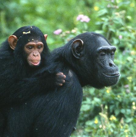 Chimpanze dans un arbre en Ouganda
