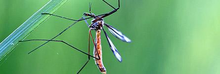 Moustique photo Macro